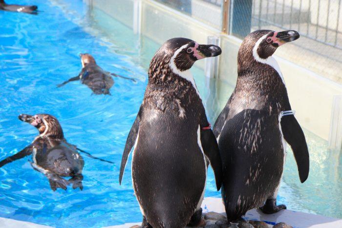 pool_penguin